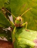 Tierfotos aller art insekten fluginsekten heuschrecken riesen