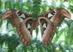 Pfauenspinner/15964/atlasfalter-groesster-schmetterling-der-welt-bis Atlasfalter (größter Schmetterling der Welt, bis 30cm Spannweite!) am 24.12.2008 in Wilhelma/Stuttgart