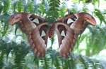 Pfauenspinner/15965/atlasfalter-groesster-schmetterling-der-welt-bis Atlasfalter (größter Schmetterling der Welt, bis 30cm Spannweite!) am 24.12.2008 in Wilhelma/Stuttgart