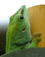 Geckoartige/15582/madagaskar-taggecko-am-17112008-in-wilhelmastuttgart Madagaskar-Taggecko am 17.11.2008 in Wilhelma/Stuttgart