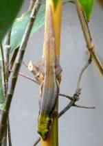 Geckoartige/15583/blaue-bambusphelsume-am-17112008-in-wilhelmastuttgart Blaue Bambusphelsume am 17.11.2008 in Wilhelma/Stuttgart