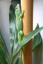 Geckoartige/69019/madagassischer-taggecko-am-12062009-in-wilhelmastuttgart Madagassischer Taggecko am 12.06.2009 in Wilhelma/Stuttgart