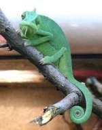 Chamaleon/15586/jemenchamaeleon-am-17112008-in-wilhelmastuttgart Jemenchamäleon am 17.11.2008 in Wilhelma/Stuttgart