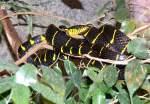 Giftnattern/17697/mangroven-nachtbaumnatter-am-01032009-in-wilhelmastuttgart Mangroven-Nachtbaumnatter am 01.03.2009 in Wilhelma/Stuttgart