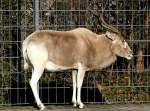 antilopen/15920/mendesantilope-am-24122008-in-wilhelmastuttgart Mendesantilope am 24.12.2008 in Wilhelma/Stuttgart