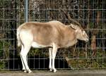 antilopen/15923/mendesantilope-am-24122008-in-wilhelmastuttgart Mendesantilope am 24.12.2008 in Wilhelma/Stuttgart