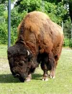 rinder/62603/bison-am-09052009-in-wilhelmastuttgart Bison am 09.05.2009 in Wilhelma/Stuttgart