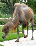 kamele/64987/trampeltier-am-27052009-in-wilhelmastuttgart Trampeltier am 27.05.2009 in Wilhelma/Stuttgart