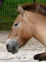 pferde/4772/urwildpferd-am-28062008-in-wilhelmastuttgart Urwildpferd am 28.06.2008 in Wilhelma/Stuttgart