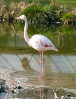 flamingos/18367/flamingo-am-22032009-in-wilhelmastuttgart Flamingo am 22.03.2009 in Wilhelma/Stuttgart