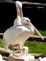pelikane/5880/pelikane-am-05072008-in-stuttgartwilhelma Pelikane am 05.07.2008 in Stuttgart/Wilhelma